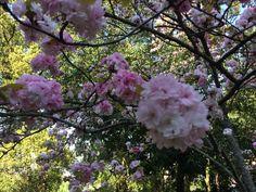 桜 2015.04.24