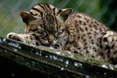http://blog.getmeonmedia.com/images/animals/mammals/geoffroys-cat-jan-newman-l.jpg