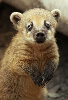 Coati Baby by Saromei [deviantart] Cute Creatures, Beautiful Creatures, Animals Beautiful, Live Animals, Animals And Pets, Reptiles, Mammals, Cute Dogs, Cute Babies