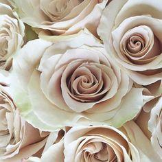 Quick Sand Cream Roses