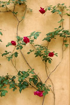 Roses by peribanyez on flickr