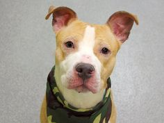 TO BE DESTROYED 05/01/14 Manhattan Center -P  My name is TIESAN. My Animal ID # is A0997237. I am a male tan and white pit bull mix. The shelter thinks I am about 3 YEARS old.  I came in the shelter as a STRAY on 04/20/2014 from NY 10457, owner surrender reason stated was STRAY.