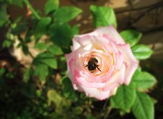 Bee on Rose - On the first day of the year the weather is warm and quiet. Bees are working a full time.