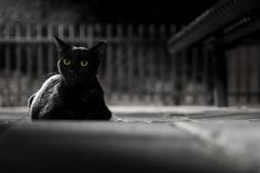 Both Irish and Japanese cultures have anointed the black cat as a feline who brings about good fortune. Both Irish and Japanese cultures have anointed the black cat as a feline who brings about good fortune. Beautiful Cat Breeds, Beautiful Cats, Pretty Cats, Cute Cats, Adorable Kittens, Names For Black Cats, Scary Cat, Cat Facts, Cat Life