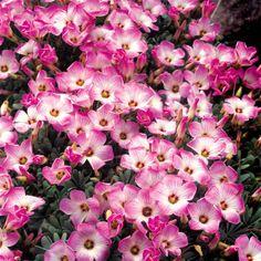 Oxalis adenophylla - 10 flower bulbs