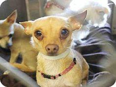 URGENT!Scottsdale, AZ - Chihuahua Mix. Meet CAMMY a Dog for Adoption.Maricopa County Animal Care & Control
