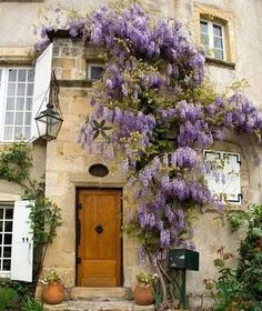 Wisteria softens, climbs and droops color