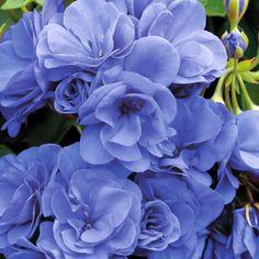 Geranium, Pelargonium 'Rose Blue' More