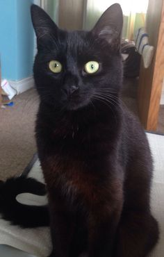 Lucy. Owner: Stephanie McCallen Macbeth Cat, Black, Black People, Cat Breeds, Cats, Cats And Kittens, Kittens