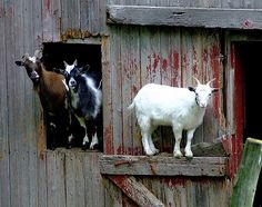 Goats in the barn