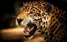 تصویر نعره یوزپلنگ چیتا wallpaper of cheetah leopard