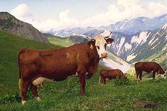 photo vache race bovine abondance Dairy Cattle, Average Body, Beef Cattle, The Monks, Rhone, West Africa, Country Of Origin, Animals Beautiful, North America