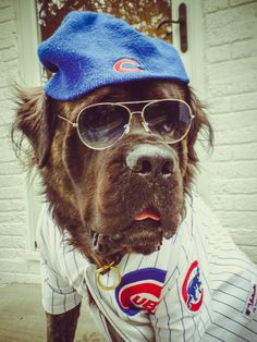 Cool dog in sunglasses  Go Cubs! http://ift.tt/2dTuUdU