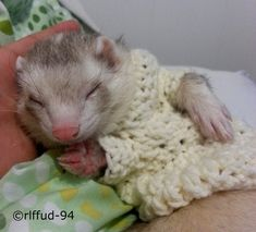 Usually I think it's ridiculous when people put clothes on their animals if it's not for the purpose of taking them outside... but I mean... c'mon... ferrets are adorable no matter what, and it's especially adorable in this crochet sweater!!! Even I can't deny it! :D #Ferrets are the freaking best