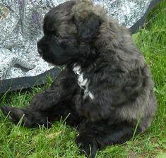 Adorable Little Fluffy Bouvier De Flandres Puppy Looks just Like a Teddy Bear- 23 Chubby Puppies Mistaken For Teddy Bears