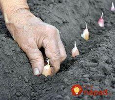 Držte sa tohoto a nebude stíhať zberať: Toto by mal vedieť každý, kto sa chystá pestovať domáci cesnak! Herb Garden, Garlic, Herbs, Landing, Winter, Composters, Winter Season, Herbs Garden, Herb