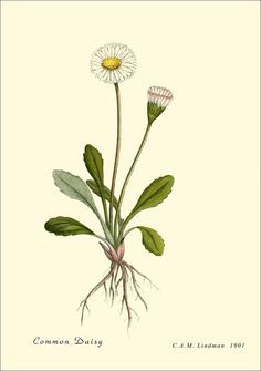 botanical diagram of a common white daisy plant - Google Search ...
