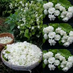 20 Best Mogra Images Beautiful Flowers Flower Lei Tropical Flowers