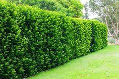 3 Tipos de cerca viva para você ter em sua casa
