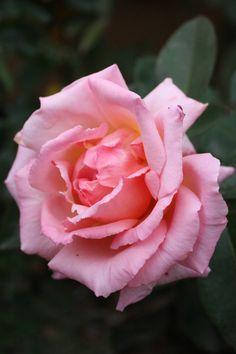 Large-flowered Climbing Rose: Rosa 'Compassion' (U.K., 1972)