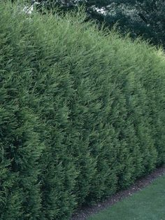 Planting Leland Cypress - fast growing, widely used for screens