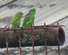 Bird Photos, Birding Sites, Bird Information: GREEN-RUMPED PARROTLETS, ARIPO SAVANNA, TRINIDAD &...