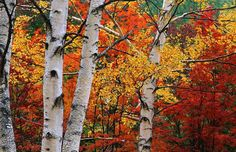 Image detail for -04 04 11 birch trees forest land autumn fall Birch Tapping Workshop ...