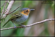 Ochrefaced Tody Tyrant. Glenn Bartley Nature Photography - Bolivia 2012