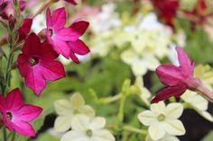 Besonders aufgrund seiner hübschen röhrenförmigen Blüten, wird der Ziertabak von Hobbygärtnern gern kultiviert. Er gehört der Familie der Nachtschattengewächse an und viele Sorten verbreiten nachts einen angenehmen Duft.