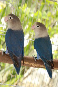 beautiful love birds pictures