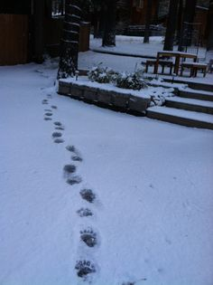 early morning bear tracks in front of the Lodge Animal Tracks, South Lake Tahoe, Pet Tips, Great Restaurants, Winter Landscape, Footprints, Early Morning, Outdoor Activities, Heavenly