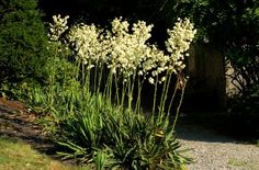 A Southeast native, Adam's Needle (Yucca filamentosa) is a tough plant tolerant of dry conditions, pests and more. It's one of the most common yucca plants.