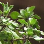 Holy Basil: Relieve Anxiety and Stress Naturally | Medicine Hunter