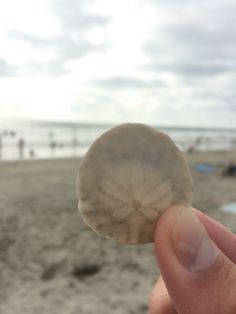 moonlight beach sandollar