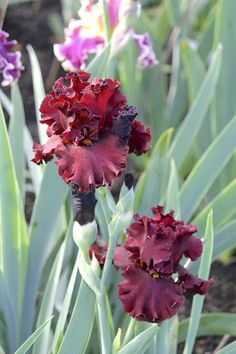 Tall Bearded Iris 'Cardinal Rule'. Deep burgundy tones.