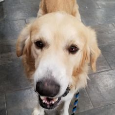 Welcome Murphy! Love this boy! He's a 5 year old Great Pyrenees/Golden Retriever who is super sweet even though. Old Golden Retriever, Great Pyrenees, 5 Year Olds, Sweet, Dogs, Animals, Candy, Animales, Animaux
