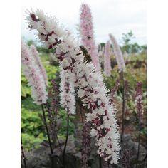Actaea simplex 'Brunette'. Zilverkaars. Dandelion, Flowers, Plants, Dandelions, Plant, Taraxacum Officinale, Royal Icing Flowers, Flower, Florals