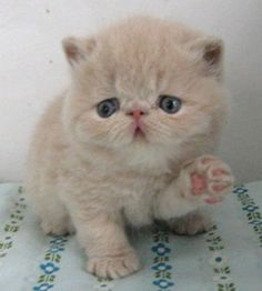 exotic british short haired  cats | Exotic Shorthair
