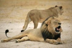 After Killing of Cecil the Lion, Delta Joins Airline Ban on Game Trophies - The New York Times