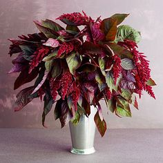 'Hopi Red Dye' (A. hybrid): Remove the bottom leaves from the stalks before plunging them in water. Use a tall vase—the large seed heads look best in a vessel with some height. Paired with flowers such as dahlias, amaranths' long, dangling seed heads add drama as spillers. Bloom stalks last 7 to 10 days in a water-filled vase. Or hang bunches of seed heads upside down in a cool place to dry. – @sunsetmag This would look great in our Silver Julep Cup.
