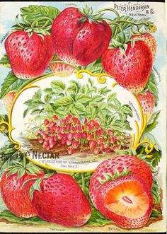 """Henderson's """"Nectar"""" Collection of Strawberries. Midsummer Vintage Seed Catalogue."""