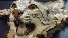 Small Vintage Bobcat Mount Rug Taxidermy  Young Bobcat