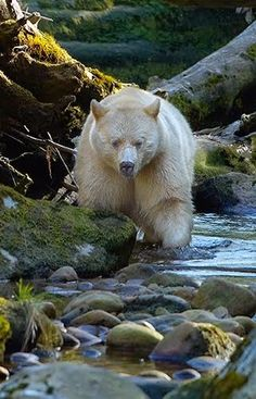 This is the rare Kermode Bear, also known as a spirit bear
