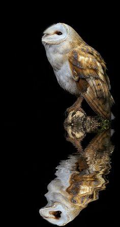 Beautiful Barn Owl  - Owl -Reflection - by Paul Keates