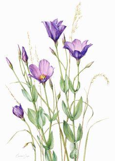 Eustoma grandiflora by Constance Sayas