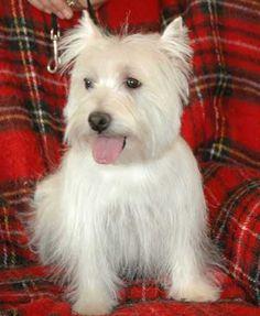 637 Best Westies images in 2019 | Doggies, Westies, White dogs