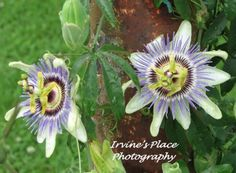 Passion flower  Photo by Rachael Irvine, Irvine's Place Photography