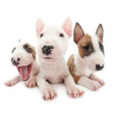 Playful and charming, sometimes mischievous, always loyal. ⠀ And very important: lot's of exercise needed in order to prevent behavior problems that may come with pent up energy. #bullterrier