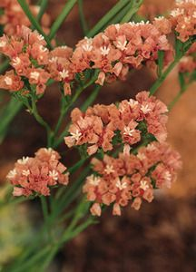 Pase Seeds - STATICE - QIS - APRICOT Annual Seed, $3.49 (http://www.paseseeds.com/statice-qis-apricot-annual-seed/)