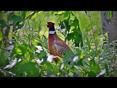Fasaani Bird, Animals, Animales, Animaux, Birds, Animal, Animais